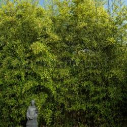 Bambou - Phyllostachys nigra