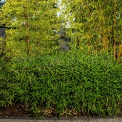 Bambou - Pleioblastus Pumilus