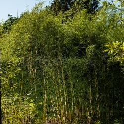 Bambou - Fargesia Robusta