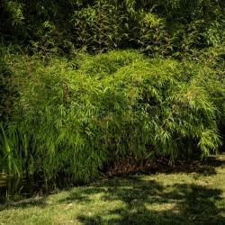 Bambou - Fargesia Rufa