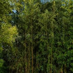 Bambou - Phyllostachys aureosulcata Spectabilis