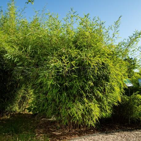 Bambou - Fargesia Nitida Trifina Black