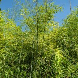 Bambou - Phyllostachys Bambusoides Violascens