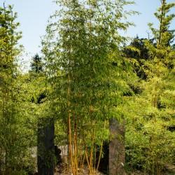 Bambou - Phyllostachys Vivax Aureocaulis