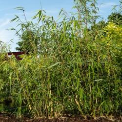 Bambou - Fargesia Robusta Wolong