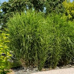 MISCANTHUS sinensis 'Zebrinus' pot de 10 L