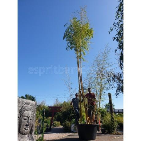 Bambou - Phyllostachys Vivax Aureocaulis - C 500 L